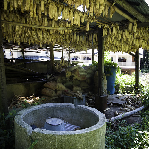 Maize, Corn Drying, Ready for Grinding | by jacob schere [in the 03 strategically planning]