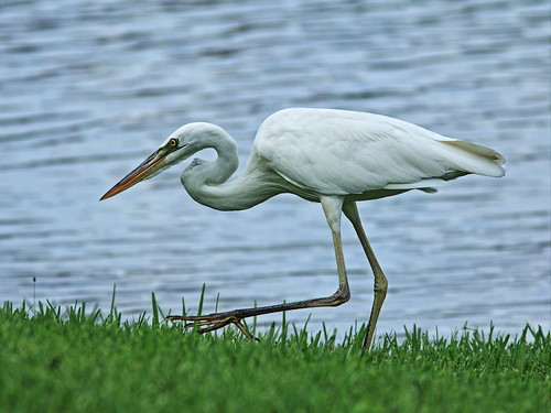 Great White Heron (Ardea_herodias_occidentalis) 20140811