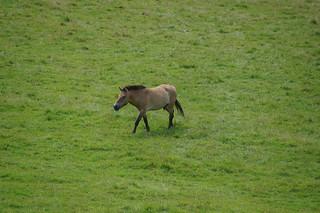 112 Przewalski paard