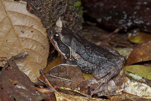 Xenophrys baluensis IMG_1887 copy