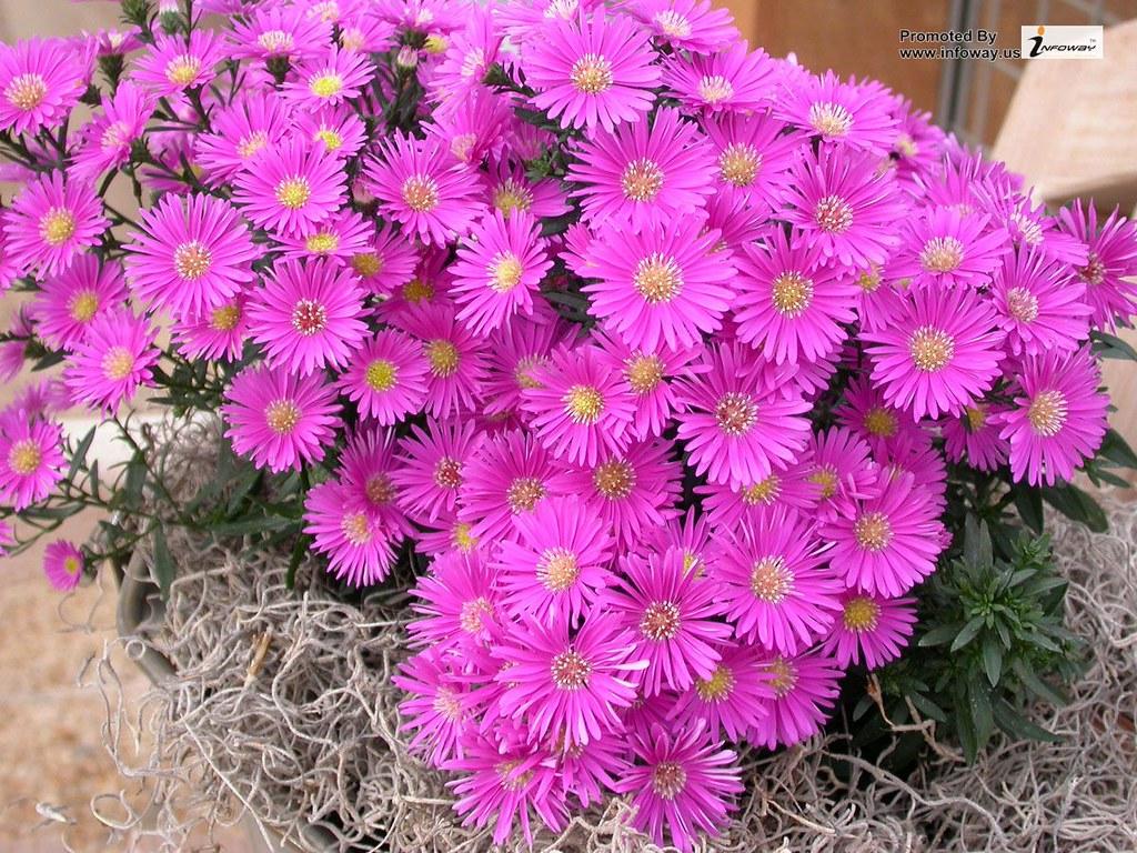 Aster Flower Aster Flower Matthew Smith Flickr