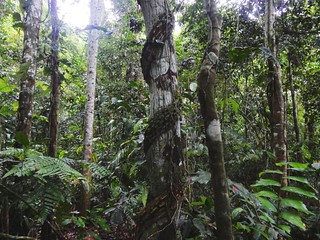 Thick jungle in Madidi National Park - Amazon forest - Bolivia | by pacoalfonso