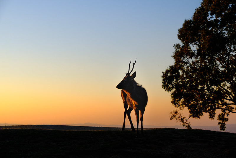 A deer of the sunset time