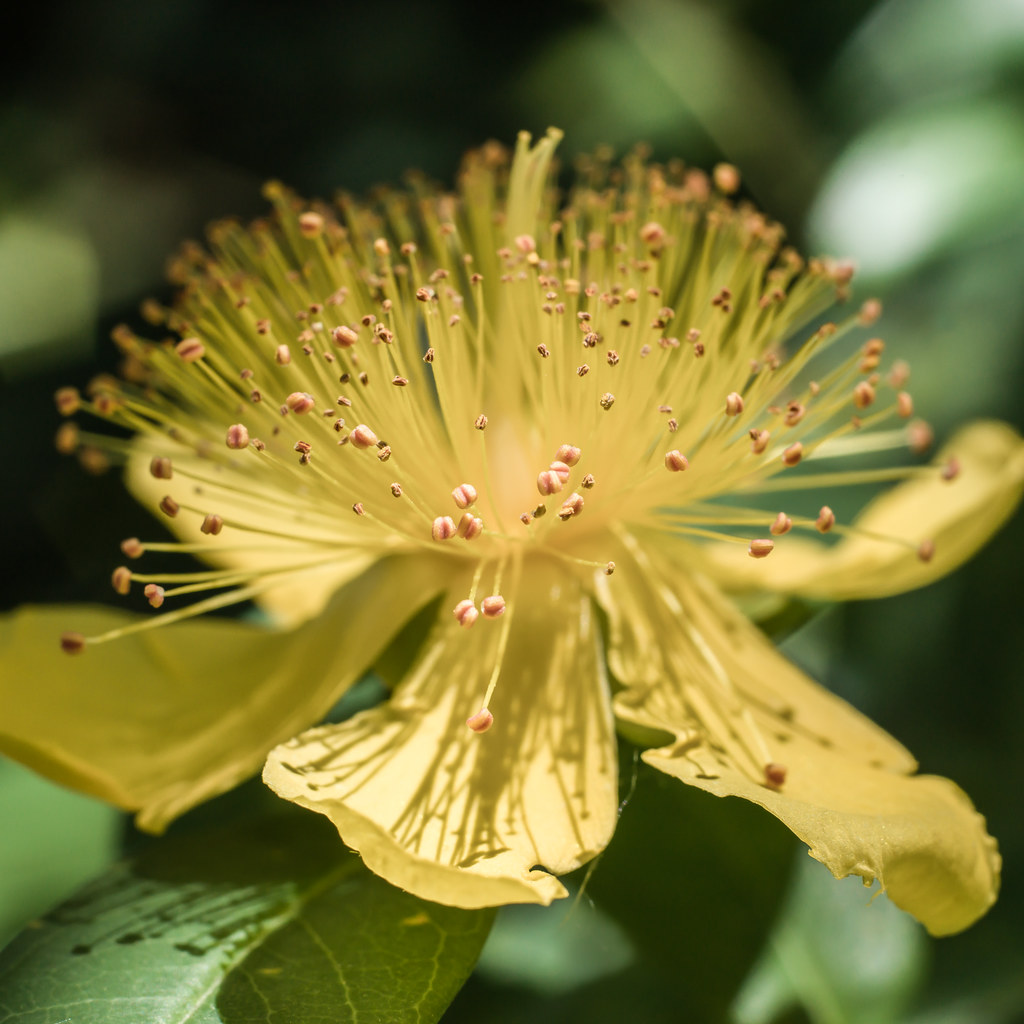 Rose Of Sharon Aarons Beard Hypericum Calycinum Bar Flickr