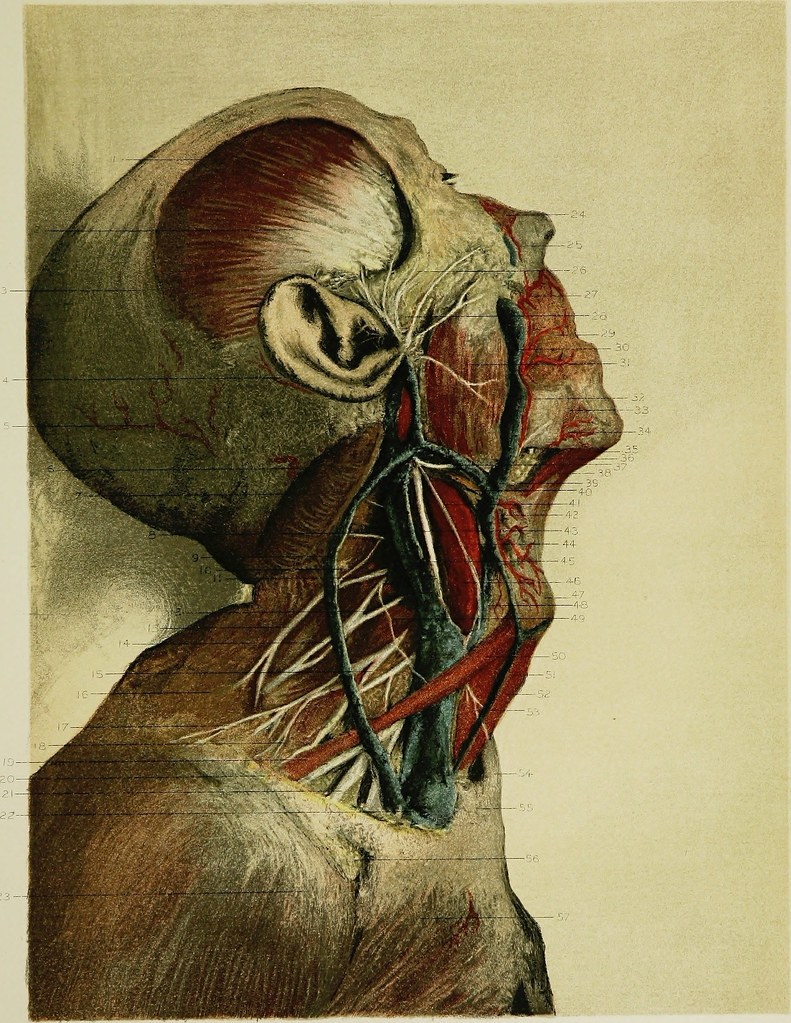 Image From Page 238 Of Regional Anatomy In Its Relation T Flickr