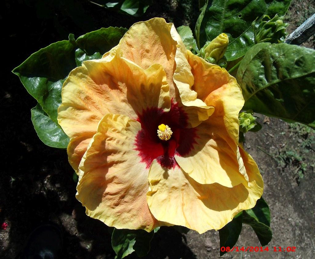 Giant single golden yellow hibiscus flower with a red cent flickr giant single golden yellow hibiscus flower with a red center by steven wiseblood mightylinksfo