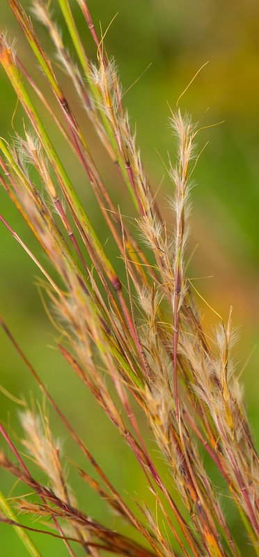 Little Bluestem (Schizachyrium scoparium), grass for a prairie garden