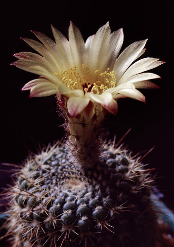 From the archives: Parodia concinna | by Don McClane