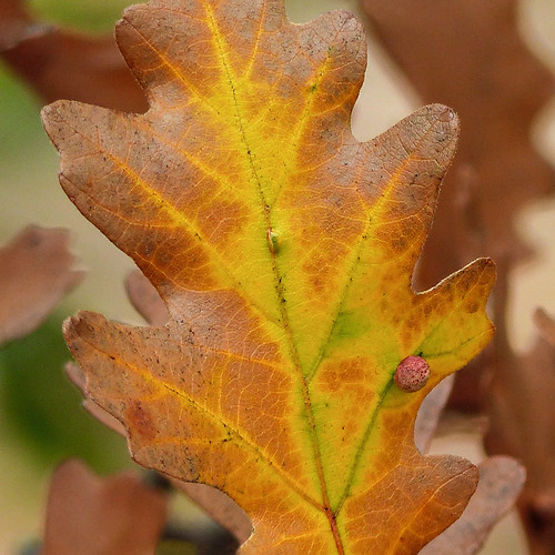 Insects R Gone Oak leaf and in...