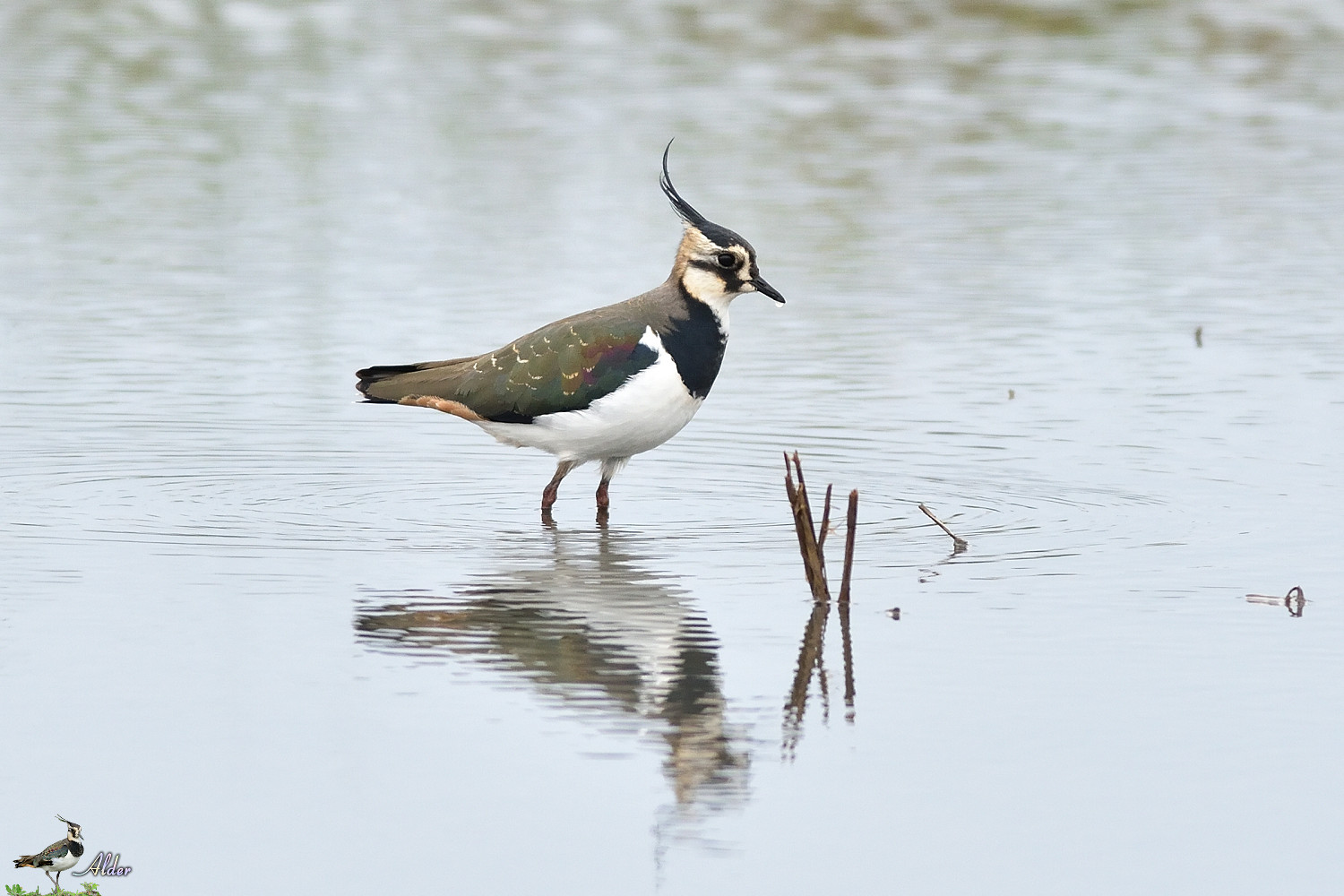 Northern_Lapwing_4684