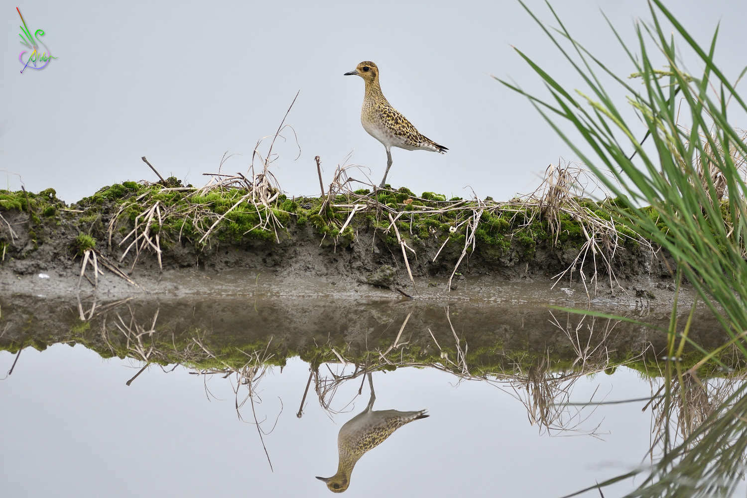 Pacific_Golden_Plover_6330