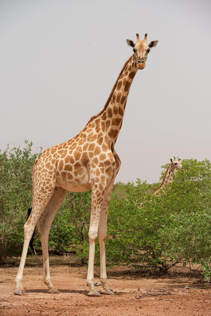 West African Giraffes In Koure