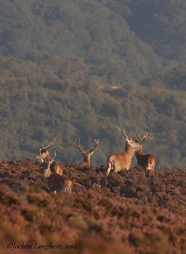 Exmoor Stags in September | by Langbein Wildlife