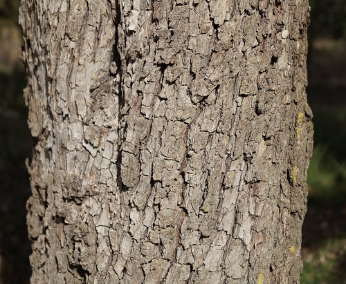 Pyrus spinosa - poirier à feuilles d'amandier 30998867776_ee51152b83