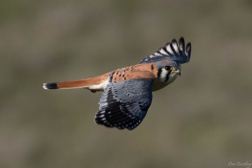 Male American Kestrel | by djbartling