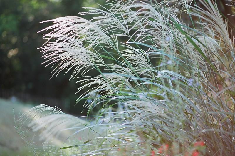 Japanese silver grass / ススキ