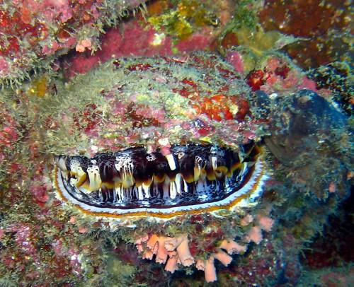Sarlacc clam