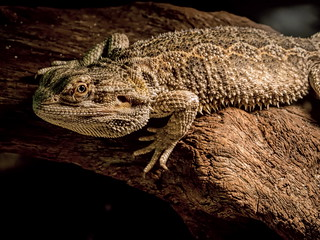 Big Lizard | by Ciddi Biri