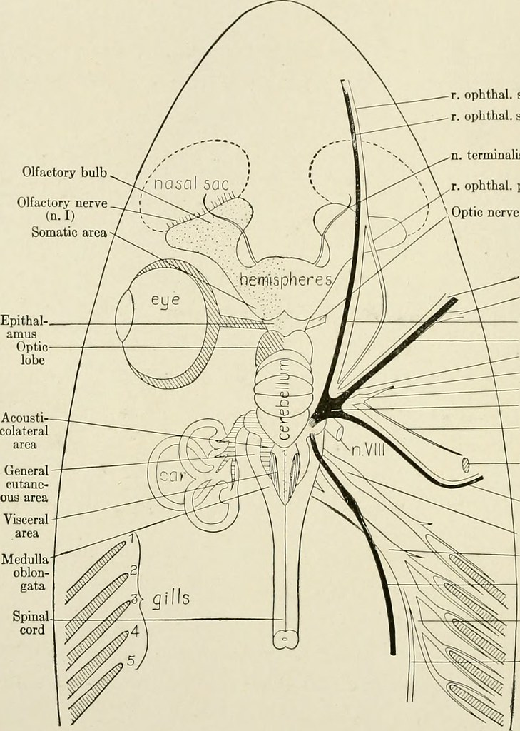 Image from page 27 of the anatomy of the nervous system flickr image from page 27 of the anatomy of the nervous system from the standpoint ccuart Choice Image
