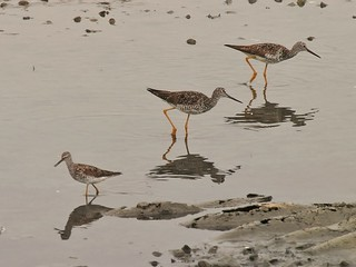 Lesser Yellowlegs, Two Greater Yellowlegs | by Bill Bunn