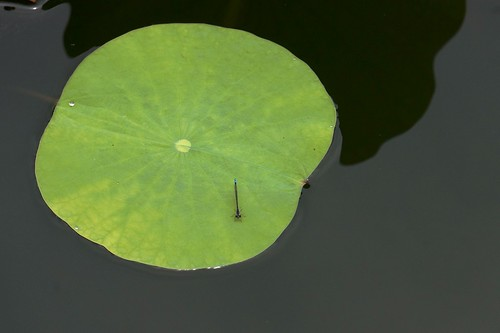 Lotus and Dragonfly | by j_arlecchino