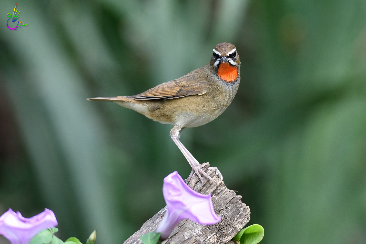 Rubythroat_2751