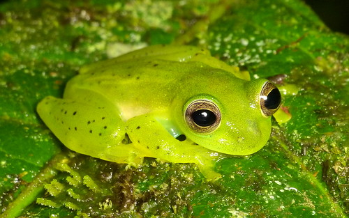 Emerald Glassfrog, Espadarana prosoblepon