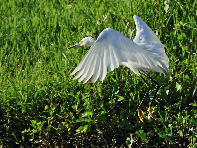 Snowy Egret 3-20140715
