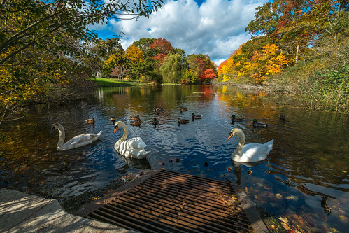 Swans in Autumn | by djrocks66
