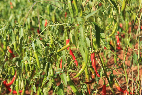 Chillies, Kalaw to Inle Lake trek