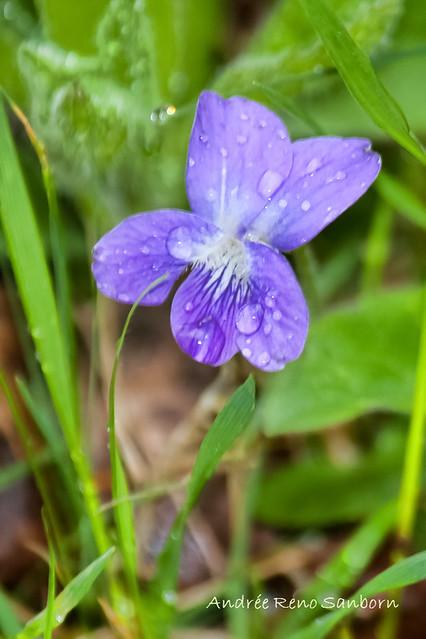 Alpine Violet (American Dog Violet) (Viola labradorica)