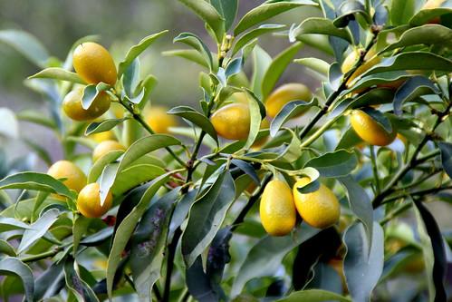 Kumquat, Kumquats, Kunquat, Cumquat, Naranjo enano, Naranja enana, Naranja japonesa