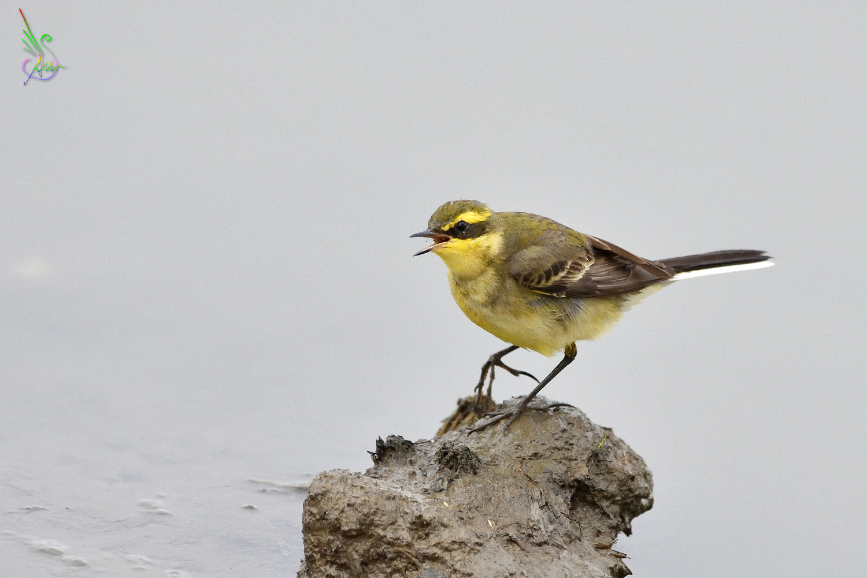 Yellow_Wagtail_6428