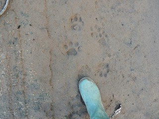 Jaguar footprints - Madidi National Park - Amazon forest - Bolivia | by pacoalfonso
