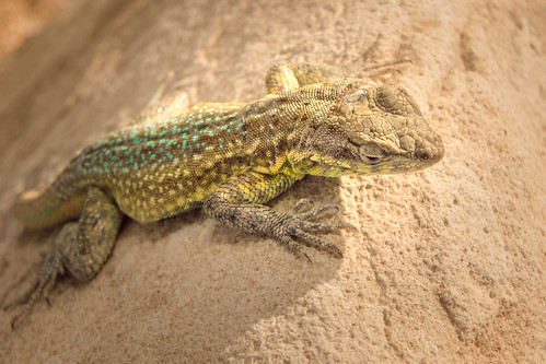Side-Blotched Lizard (Uta stansburiana) | by Gavin Beck (SnakeBuddies)