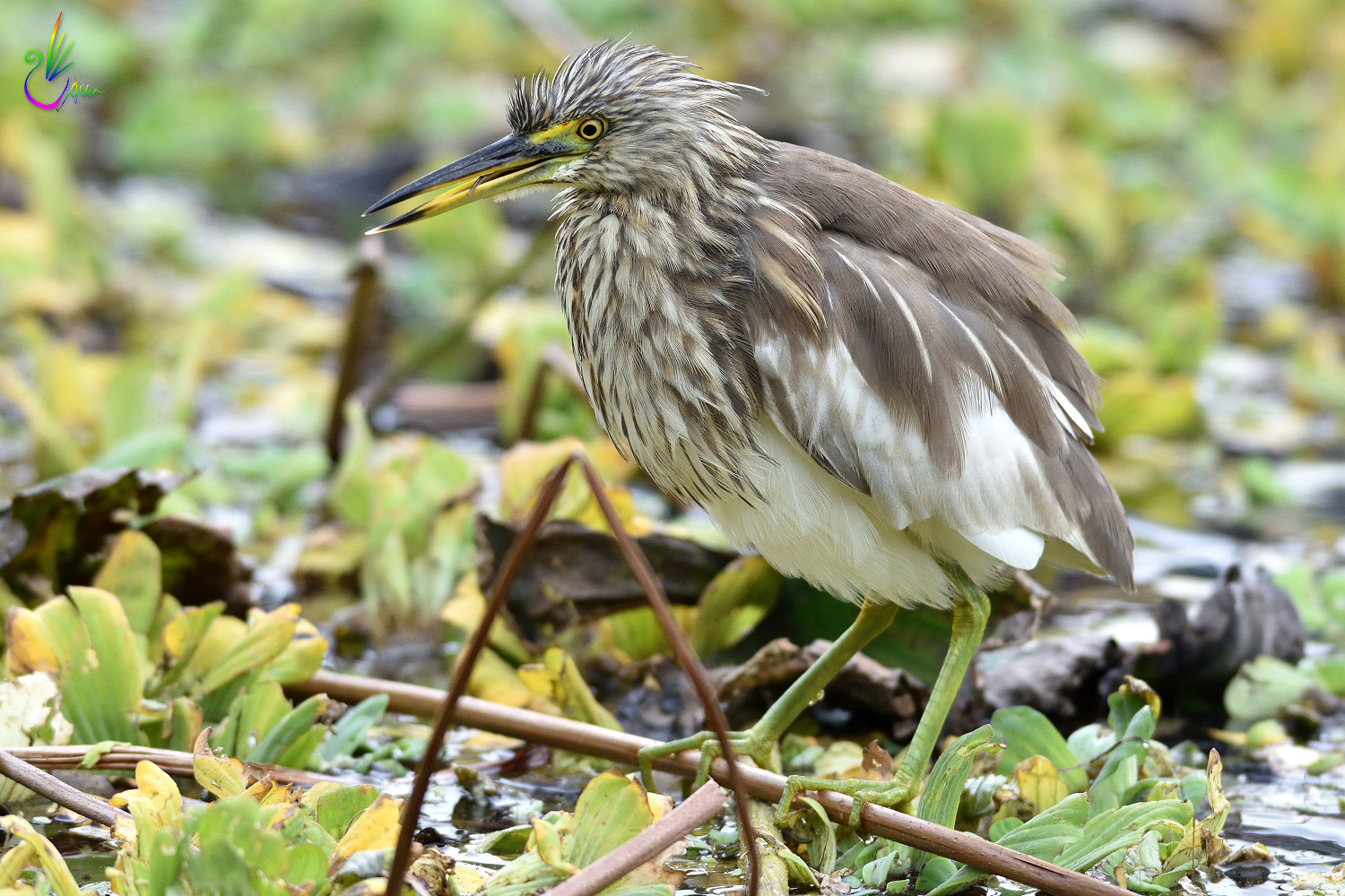 Chinese_Pond_Heron_3208