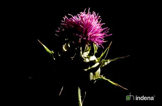 Silybum marianum L. | by Indena SpA