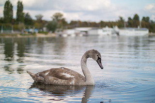 Close-up of a swan with blurry background | by Ivan Radic