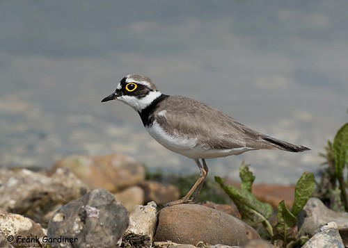Little Ringed Plover | by Frank Gardiner- No Awards Please-Comments Welcome