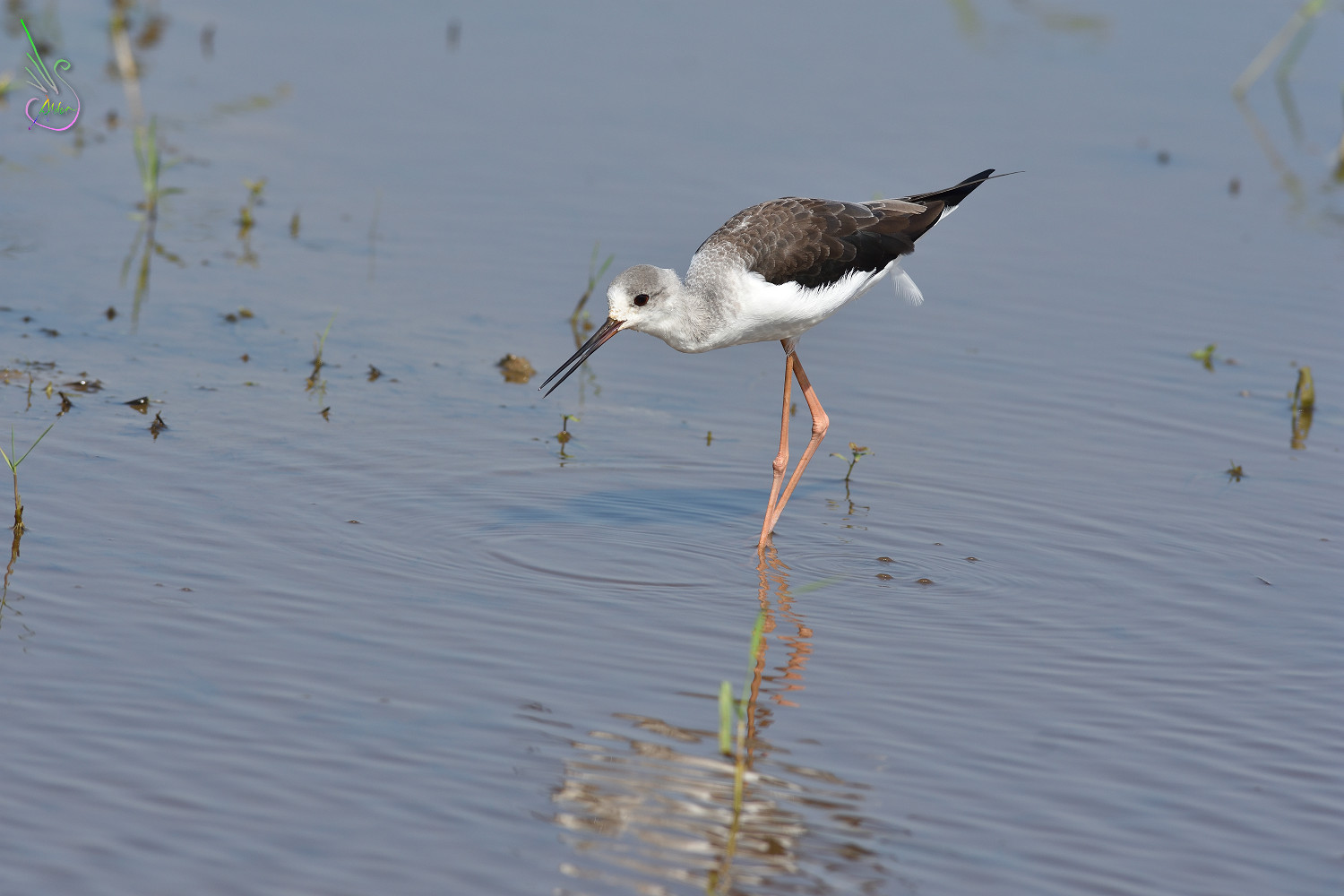 Black-winged_Stilt_1671