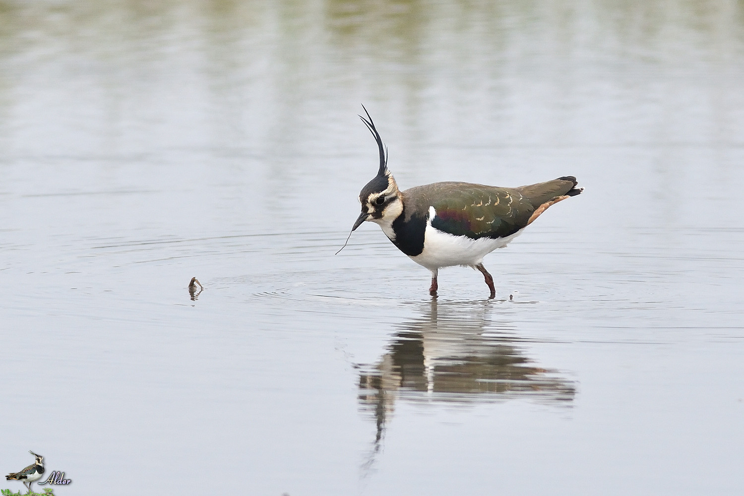 Northern_Lapwing_4864