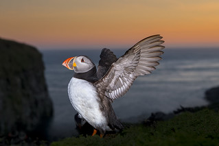 Skomer Island Puffin 2014 | by iesphotography