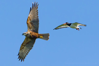 Marsh Harrier and an OysterCatcher | by iesphotography