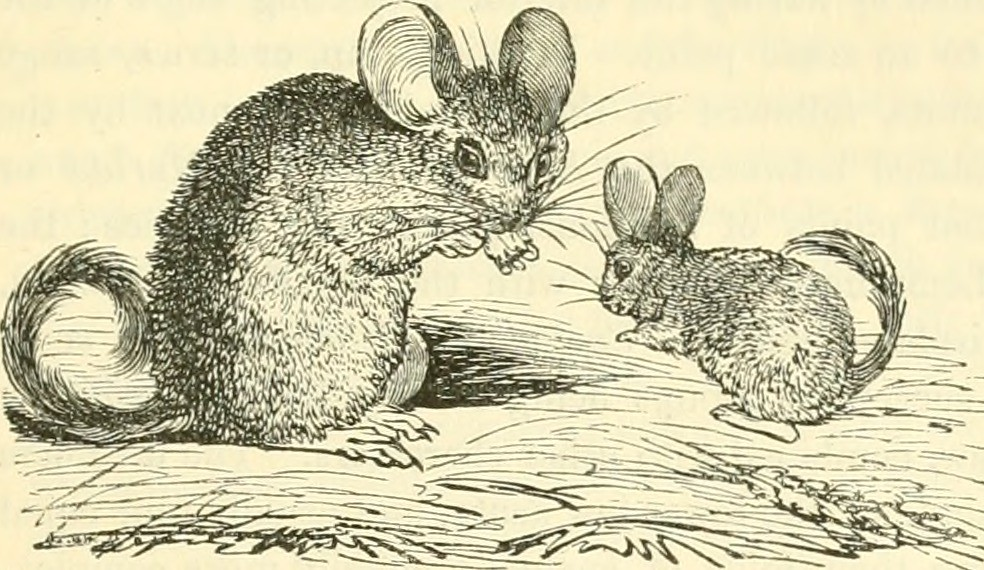 Image From Page 178 Of The Animal Kingdom Arranged After Its Organization Forming