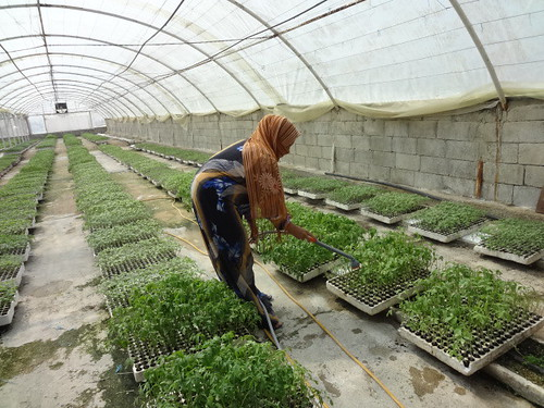 A farmer maintains her crops in the greenhouse granted by UNDP in Tartous 4 | by undp.syria