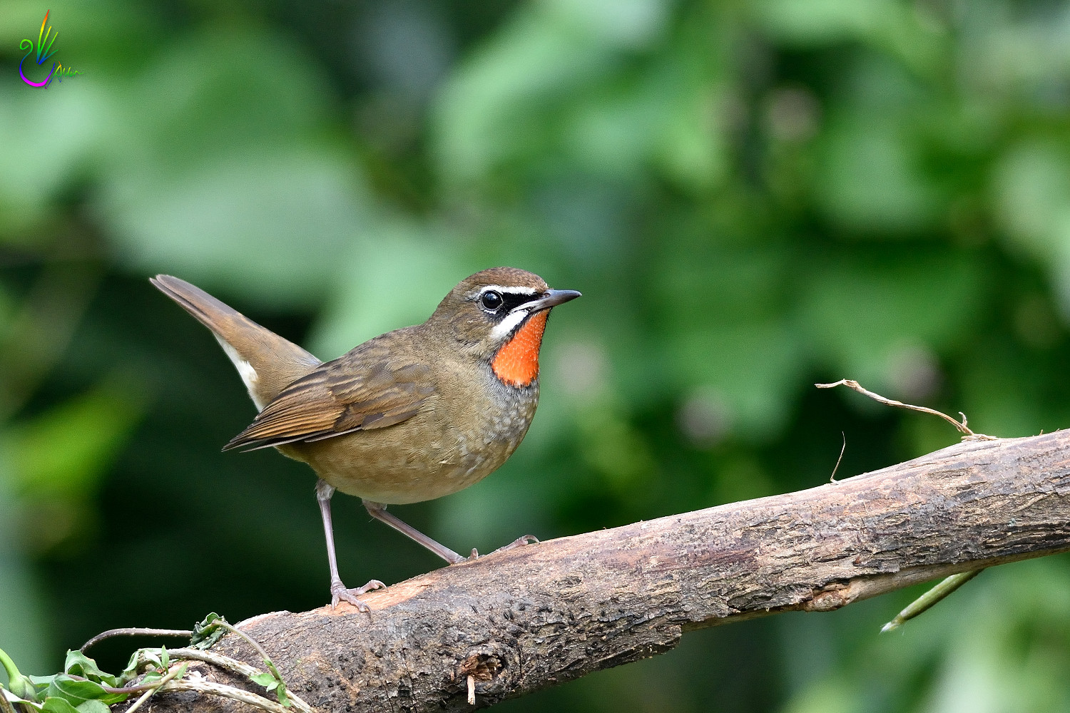 Rubythroat_2710
