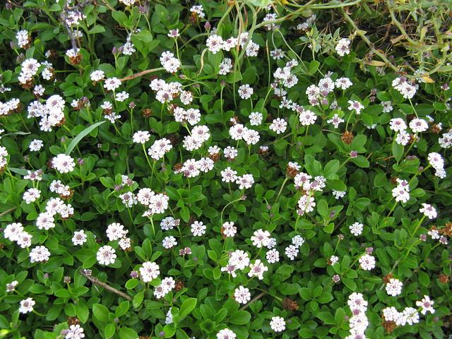 Phyla canescens flowerhead7