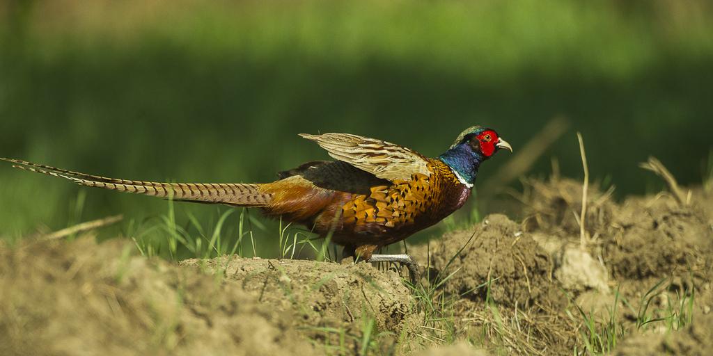Ring-necked Pheasant - Hortobagy - Hungary_S4E4258