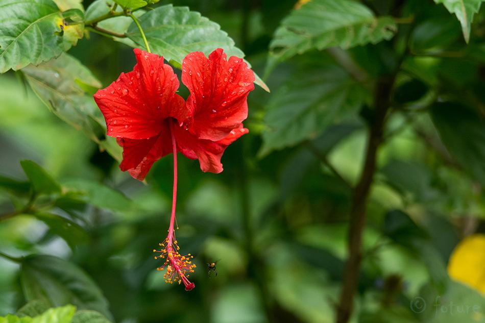 Hibiscus, flower, hibiskus, Costa Rica, Kaido Rummel