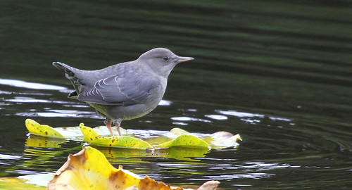 American Dipper on Lilypad | by Rob -Alexander